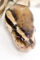 Que tipo de barulho assusta cobras fora?