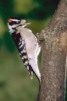 Que tipos de aves são preto, branco e vermelho?