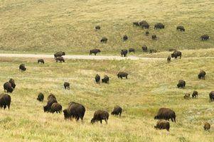 Quando plantar a grama de búfalo