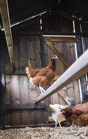 Onde você colocar poleiros em galinheiros?
