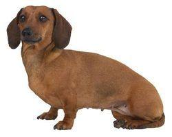 Que os cães têm coloração dourada na íris?