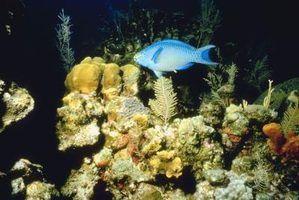 Algas cabelo branco em aquários de água salgada