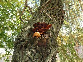 Por que os cogumelos silvestres cresce em árvores?