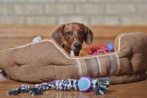 Por que usar chips de cedro para a cama do cão?